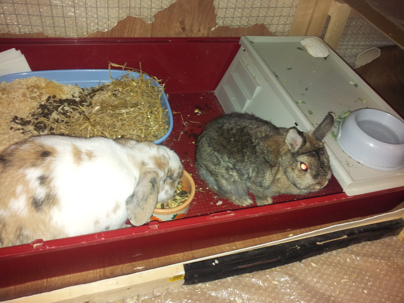 Rabbits eating in a rabbit hutch