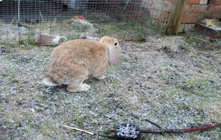 Katie and Fifer's hutch is in the brick shed in the background, to keep it extra warm.