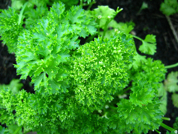 parsley, courtesy of wikimedia commons.