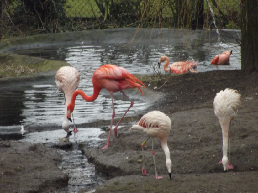 flamingos at flamingoland