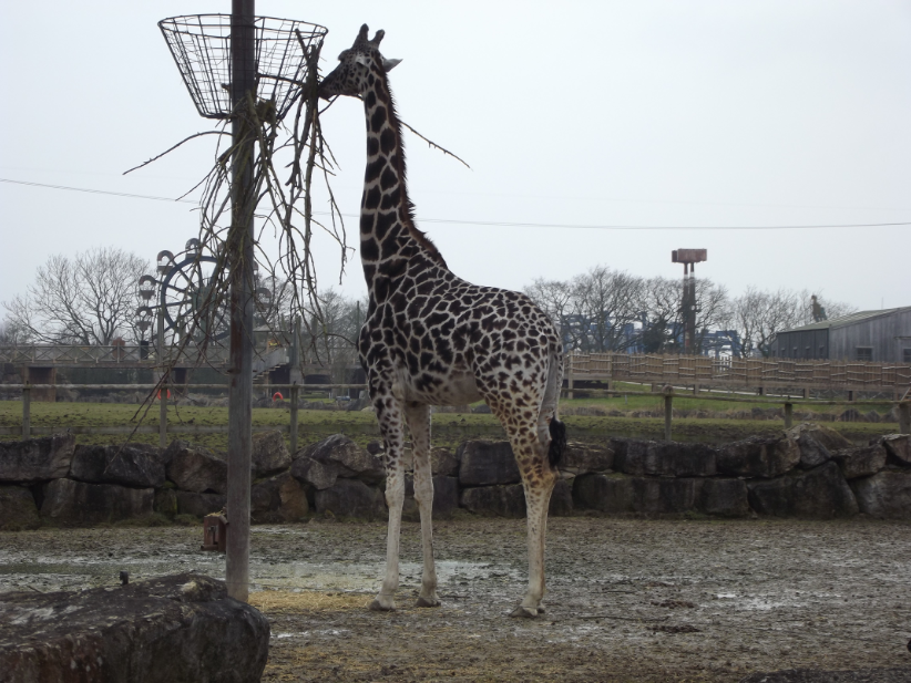 giraffe eating at flamingoland