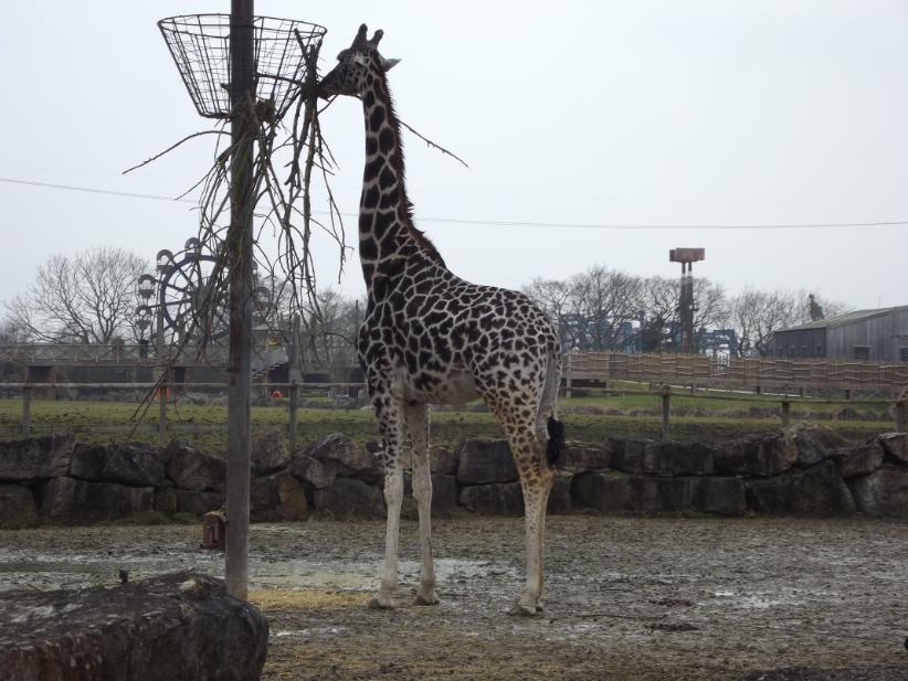 giraffe eating at flamingoland