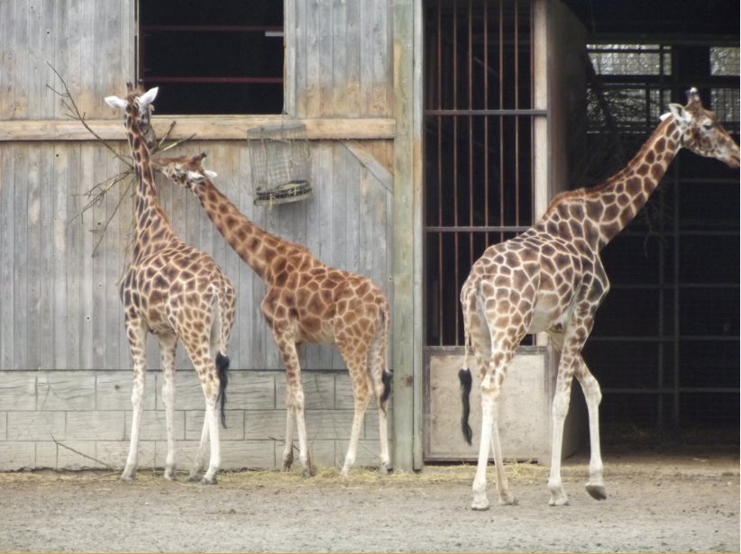 giraffes at flamingoland