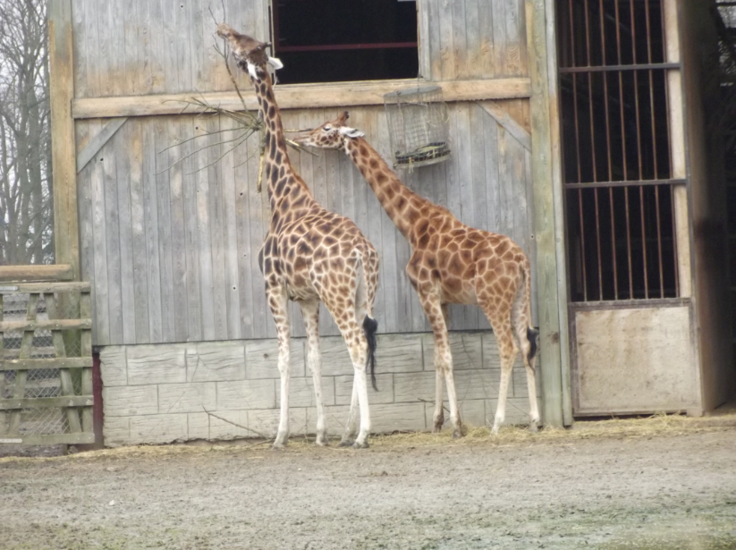 giraffes at flamingoland