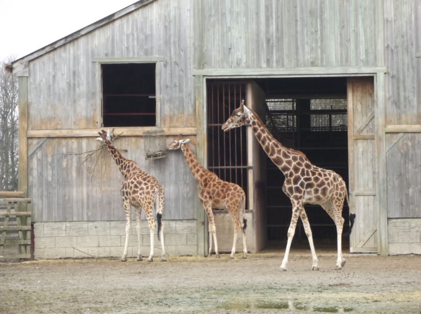 These adorable baby giraffes with their mommy were having a nibble in their play area.