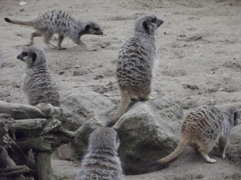 meerkats at flamingoland
