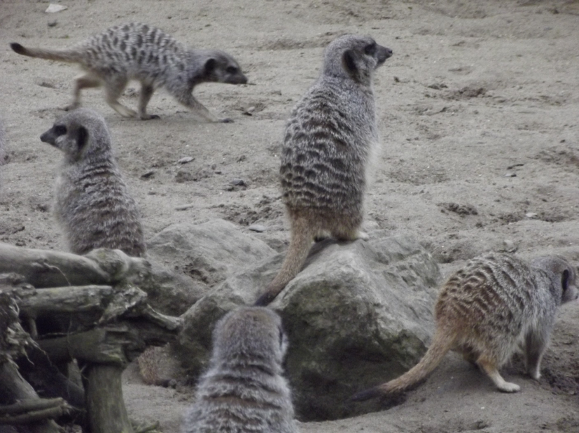 meerkats at flamingoland
