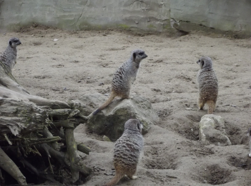meerkat at flamingoland