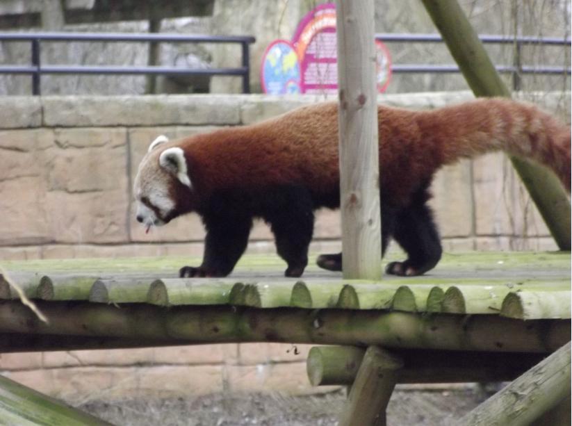 red panda at flamingoland