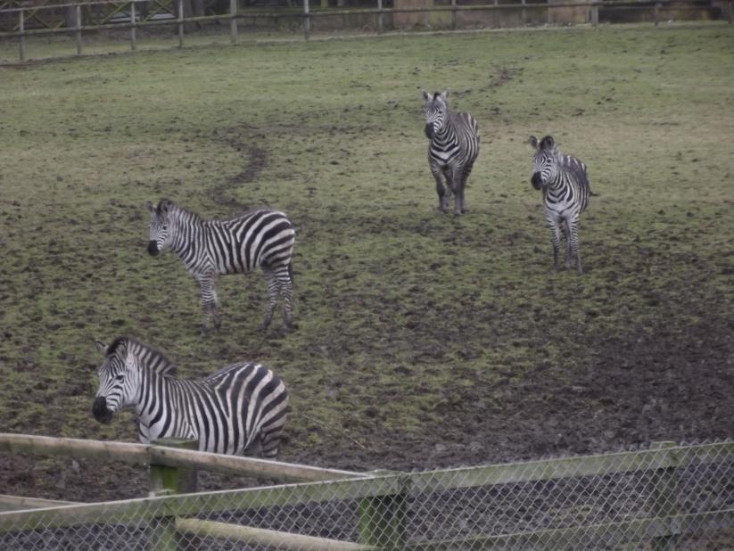 zebra at flamingoland