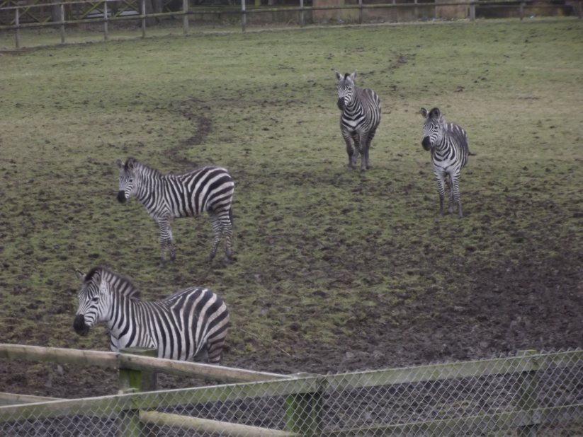 zebra at flamingoland