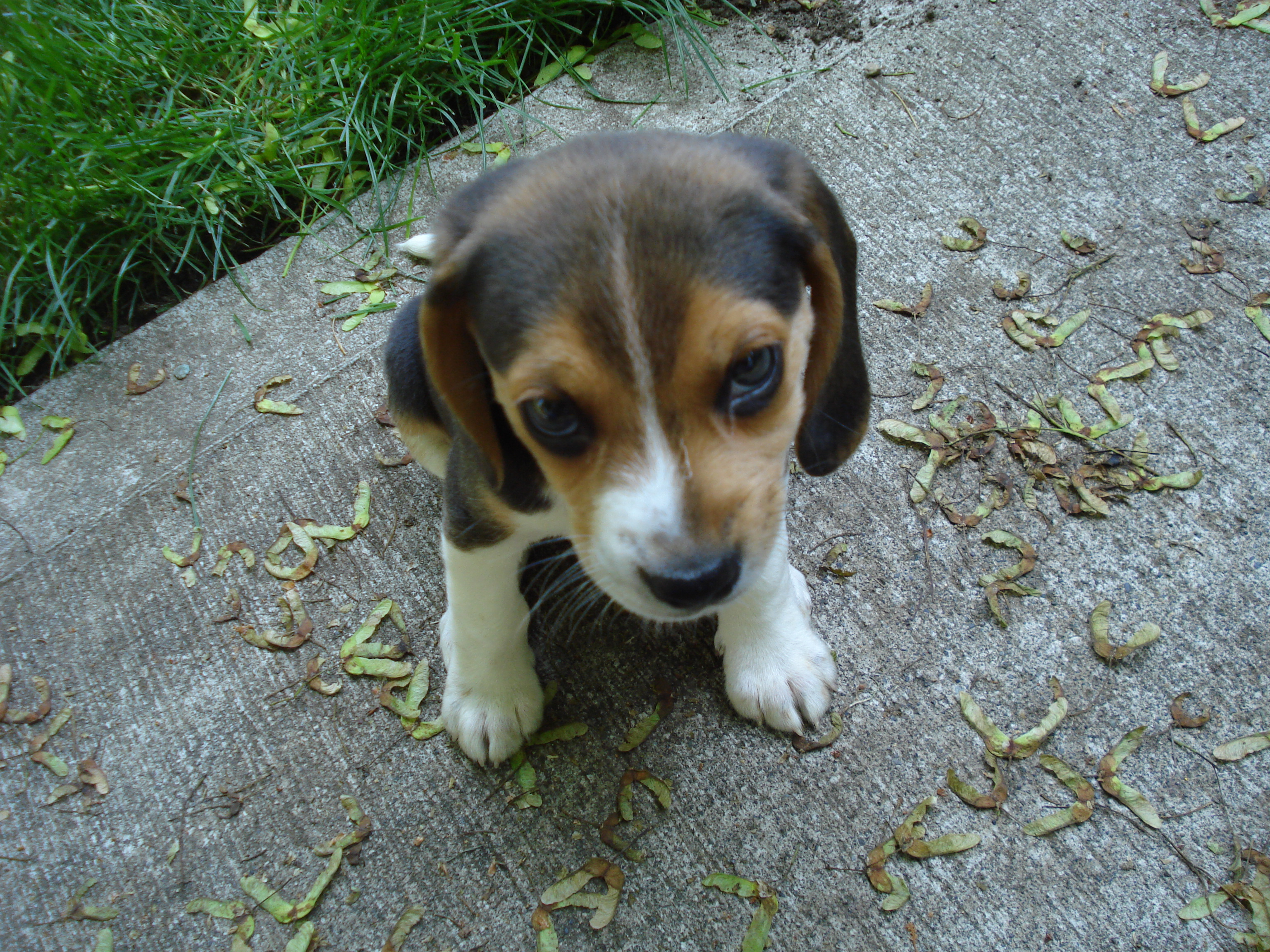 A six week old beagle who was wandering around on wikipedia looking lost (I know I've used him before but he's so CUTE).