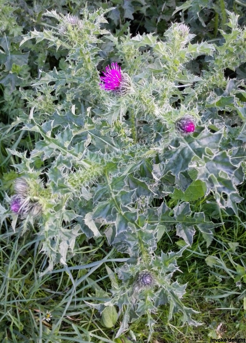 They're prickly to touch but beautiful to look at.  Although, unlike Eeyore, I don't think I'd want to eat thistles!