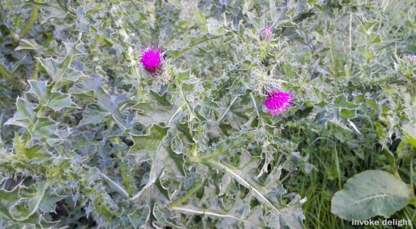 Another set of thistles.  The pink is so striking against the green that I had to get a picture.