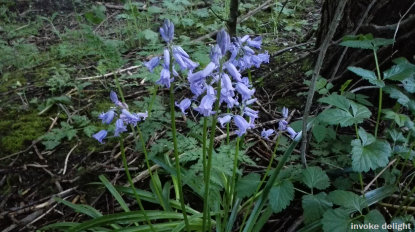 This is another moment in time that I really love - that brief time of year when the bluebells come out.