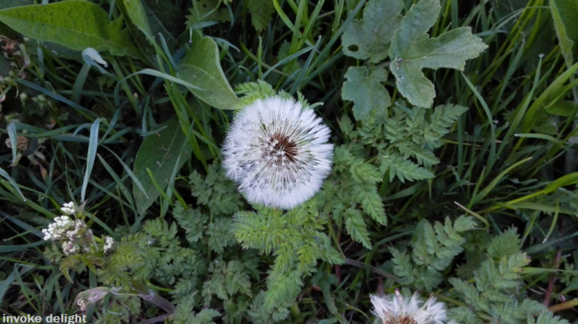 Another dandelion clock.  I love this moment in time, when such a delicate natural process is taking place.