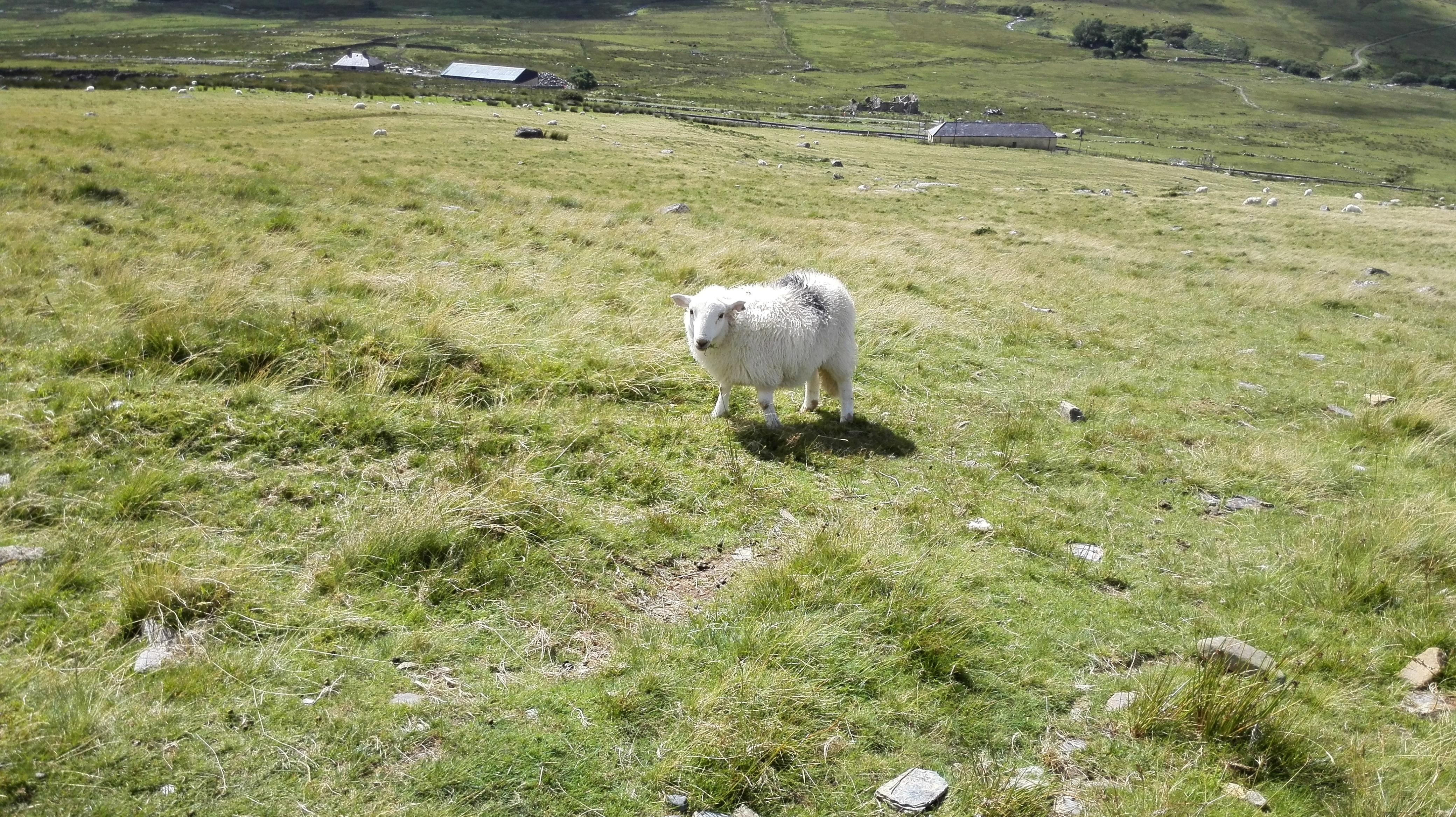 Plenty of sheep but no goats.