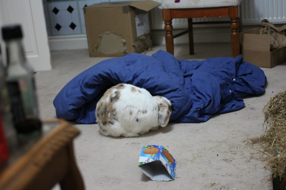 Banacek tries to make a burrow.  For some reason the idea of bunnies and duvets in the same geographical location makes me squee slightly.  I need to leave the quilt on the floor more often (it's waiting to be washed and doesn't fit in our tiny basket).  So precious.  Unfortunately, this was the only picture because the little bugger psychically knows when I'm reaching for the camera and instantly runs away.
