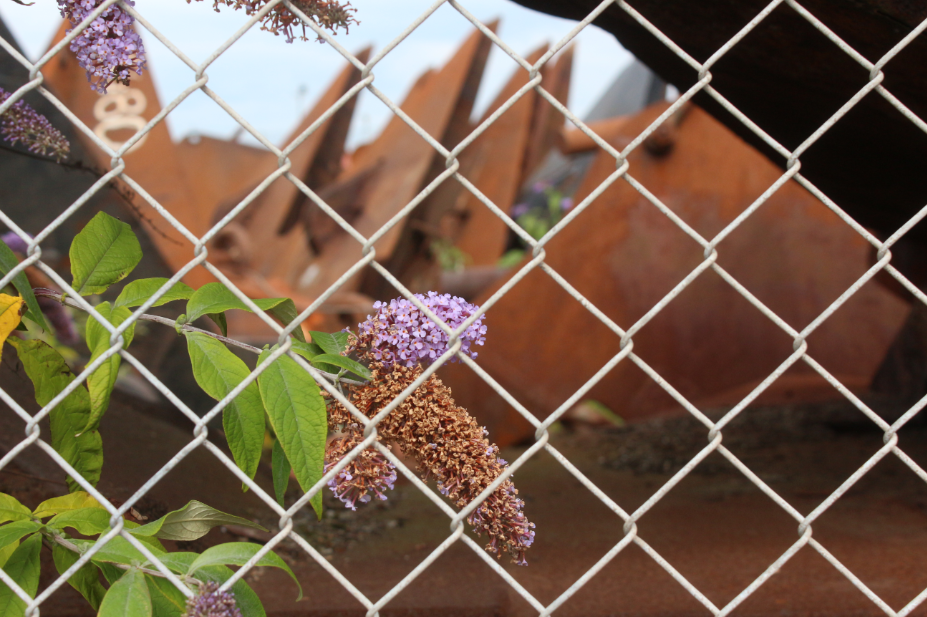 A laburnum growing up a fence on a backdrop of rust.  The astigmatism and slight vignetting bugs me.