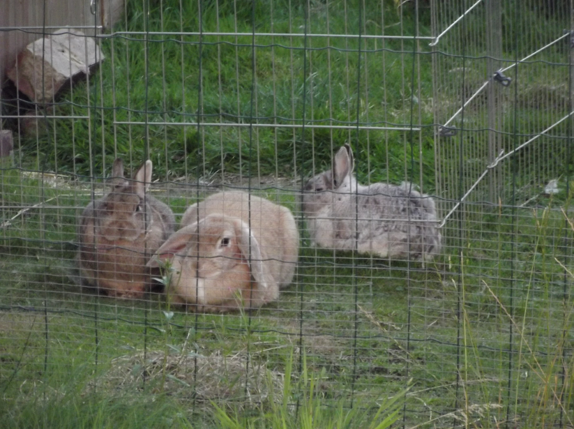 Three, snuggly, bunnies.  Three, snuggly, bunnies.  See how they sit there and do nothing.  See how they sit there and do nothing...  Sebastian's in a separate run because he keeps attacking Fifer.  But they both love Katie.  But Fifer saw her first so she's housed in her primary relationship but I do let her and Sebastian have time together too when I can.