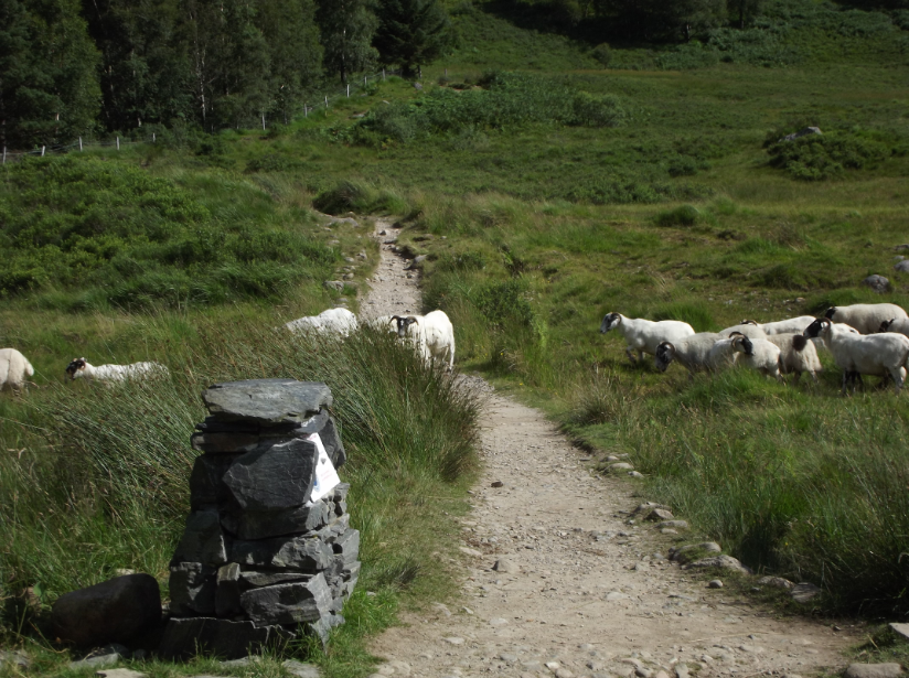 Rush hour in Scotland, several hundred sheep crossing the Youth Hostel path on Ben Nevis late afternoon.