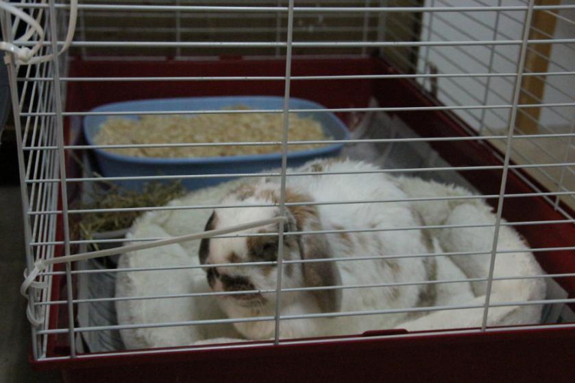 banacek rabbit ill yellow poo