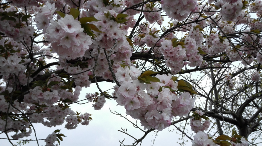 Last year's cherry blossom (aka May blossom), taken with last year's camera. It has been long gone for 10 months now, after these petals tumbled to the floor in a blushing snowdrift. How differently will the blossom be that grows this year?