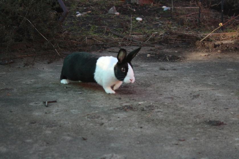 Poppy bunny in the garden.
