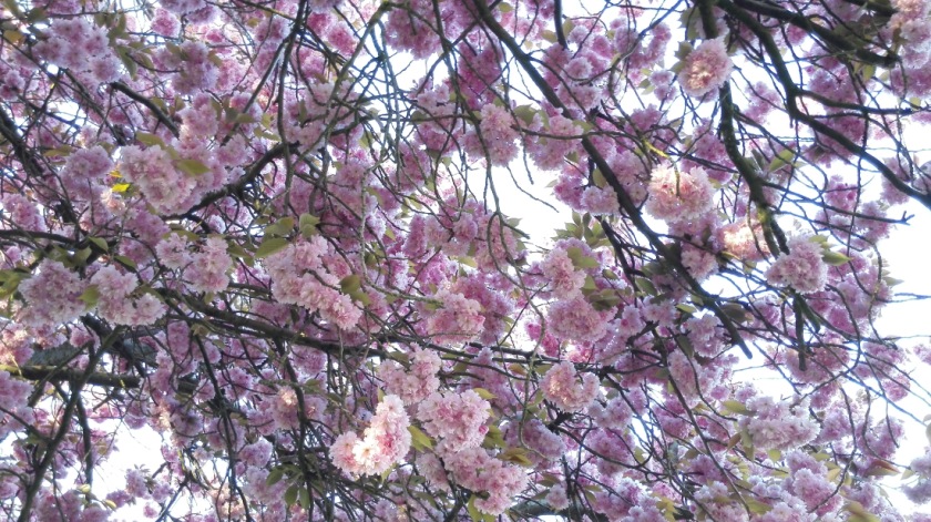 Last year's cherry blossom, taken with last year's camera. How differently will the blossom be that grows this year?