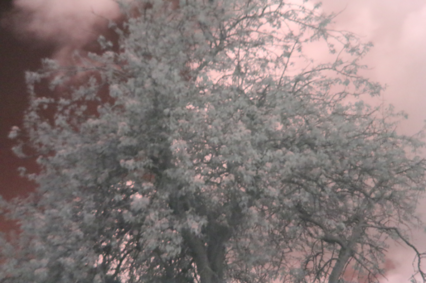 Infrared photography of a tree in next door's garden. Taken on Canon EOS 700D (no modifications) with IR filter.