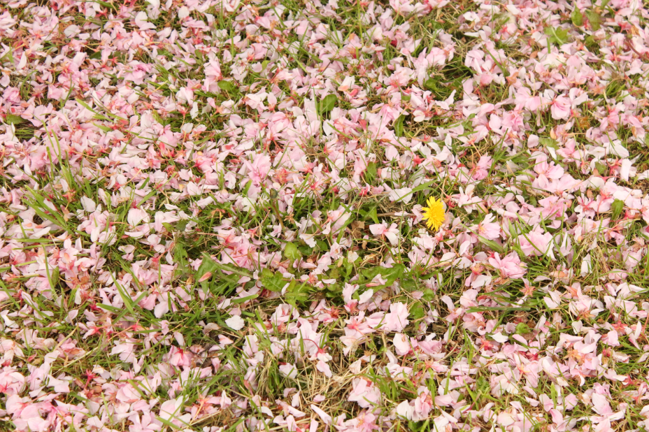 A dandelion amidst the fallen petals. cherry blossom may blossom delight and inspire www.delightandinspire.com