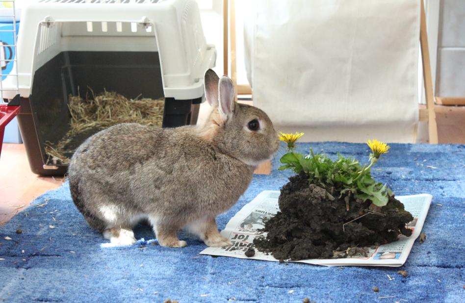 bunny rabbit eating dandelion cute bunnies cute bunny soft bunny adorable funny