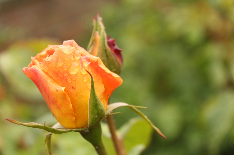 Raindrops on Roses invoke delight and inspire