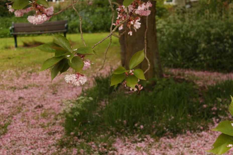 Pure Cherry Blossom May Blossom Snowfall Petals