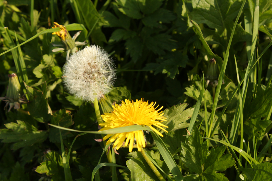 A yellow dandelion and its grey-haired granny went out for a walk... photography