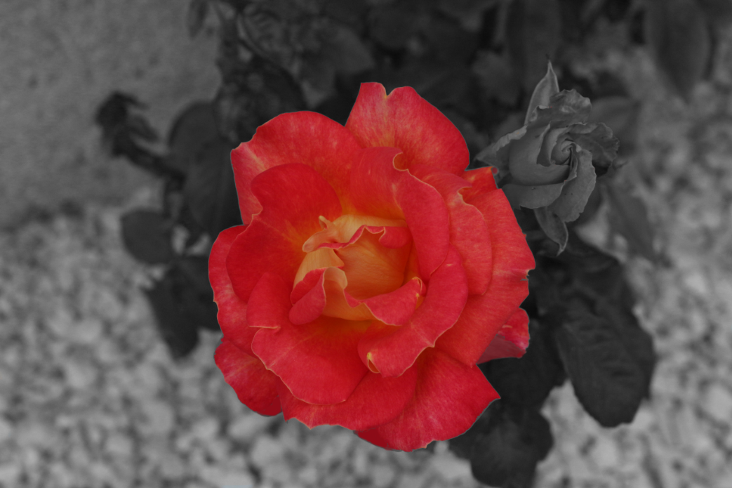 black white red monochrome color isolation GIMP photos picture example rose