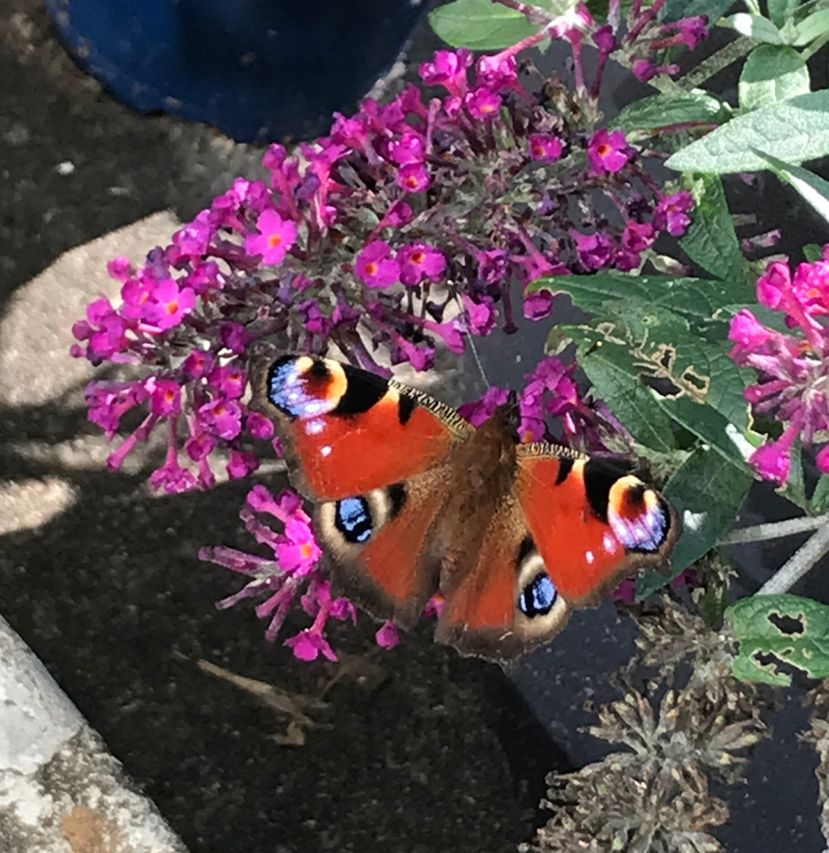 A beautiful peacock butterfly came tovisit