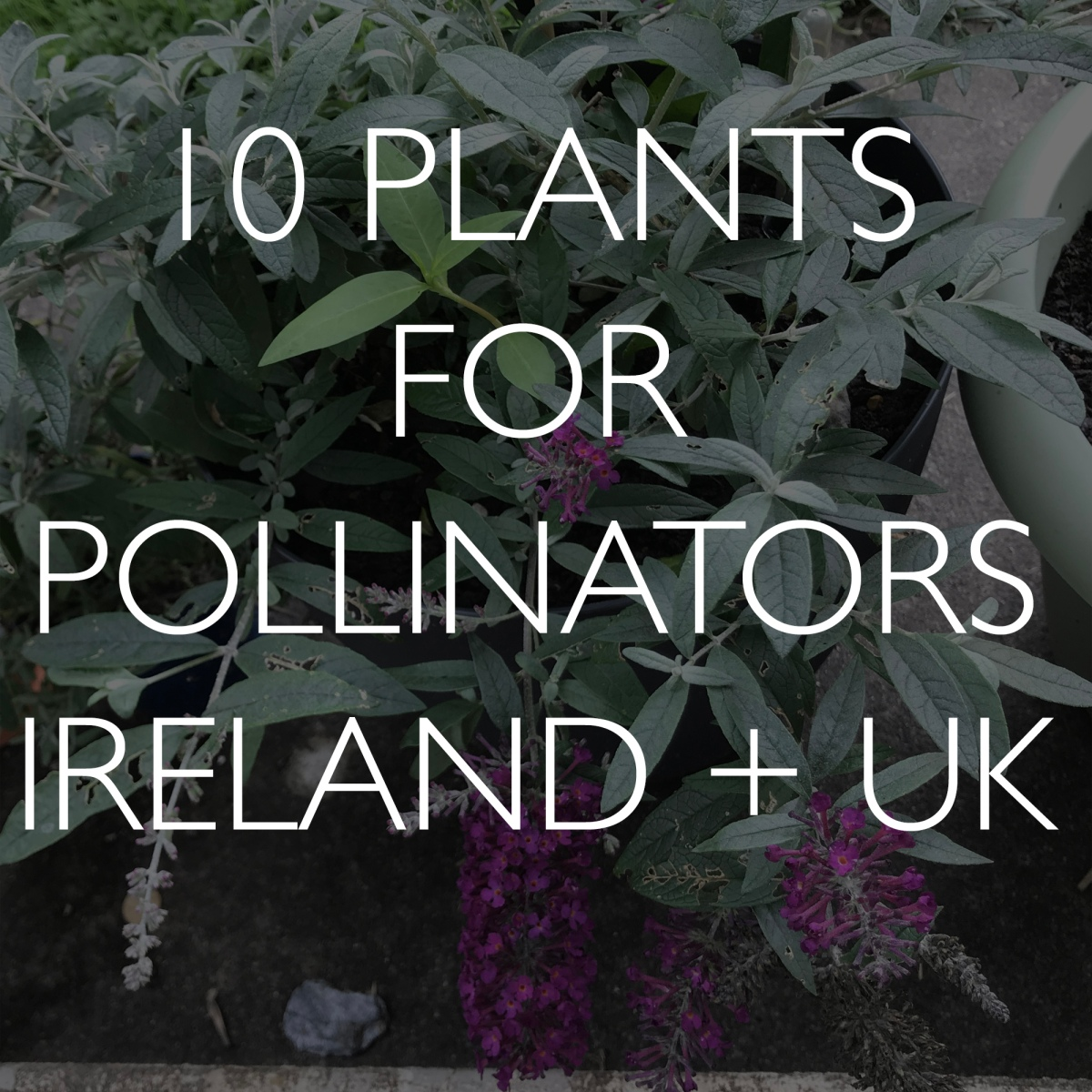 10 Plants for Pollinators in Ireland and UK (and how to plantthem)